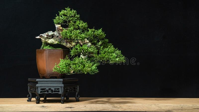Bonsai style used for decoration. Bonsai is used to decorate the shop. Japanese bonsai tree on a black back wooden floor. Japanese bonsai tree has a beautiful royalty free stock photography