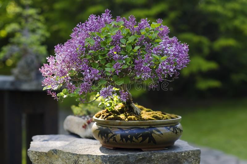 Bonsai from Syringa lilac tree. Blooming Syringa meyeri tree as bonsai in Prague botanical garden during exhibition stock images