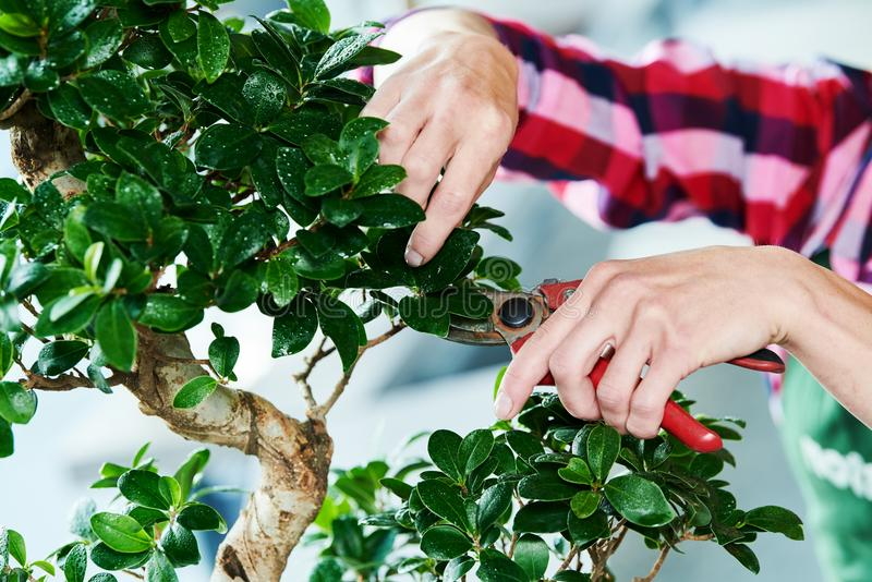 Bonsai. tending houseplant growth. Pruning small tree. stock photography