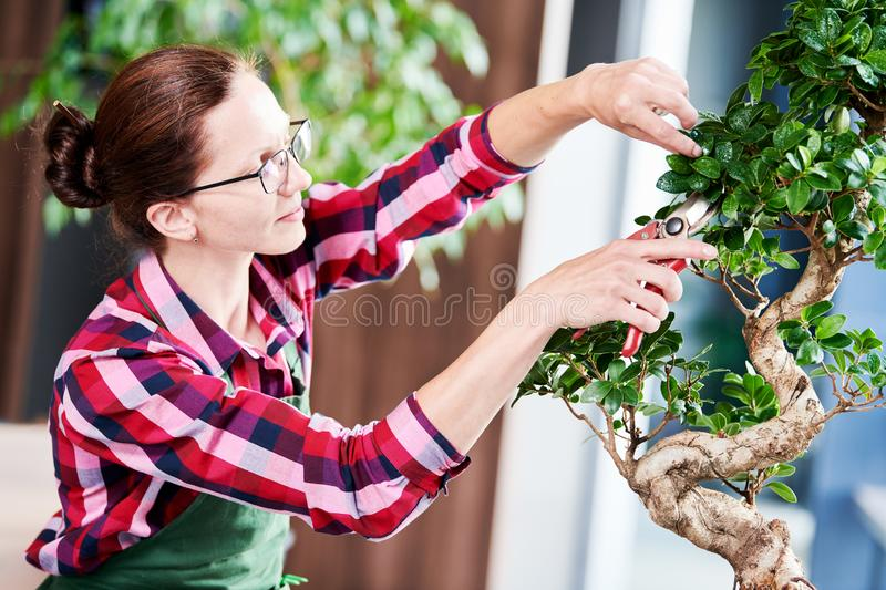 Bonsai. tending houseplant growth. Pruning small tree. royalty free stock image