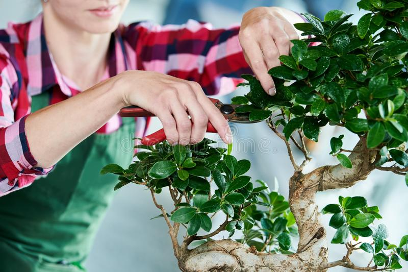 Bonsai. tending houseplant growth. Pruning small tree. stock image