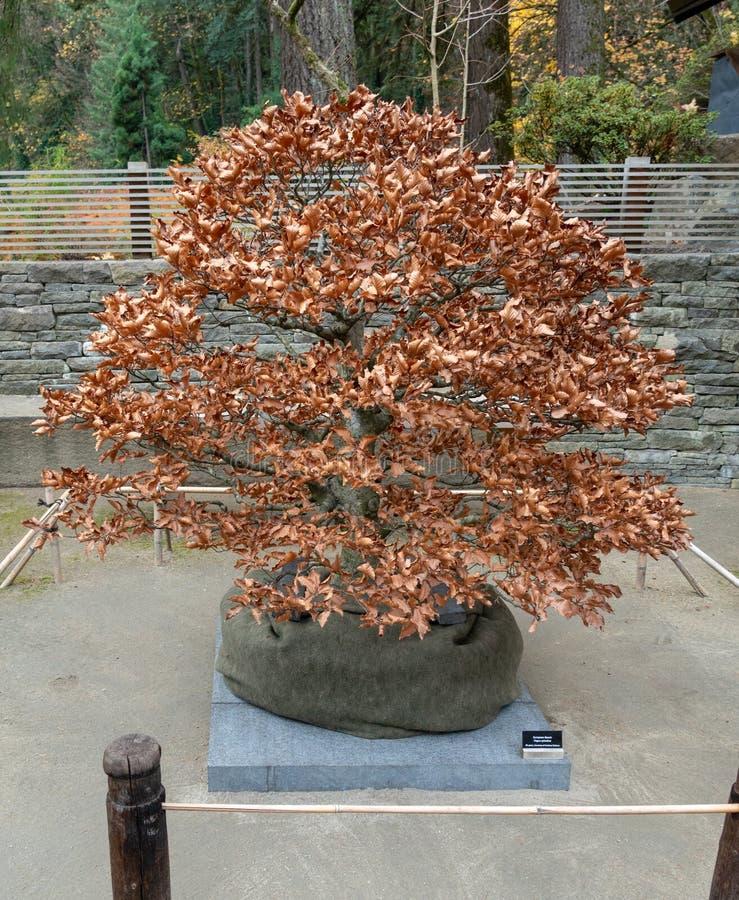 Bonsai tijdens de Herfst royalty-vrije stock foto
