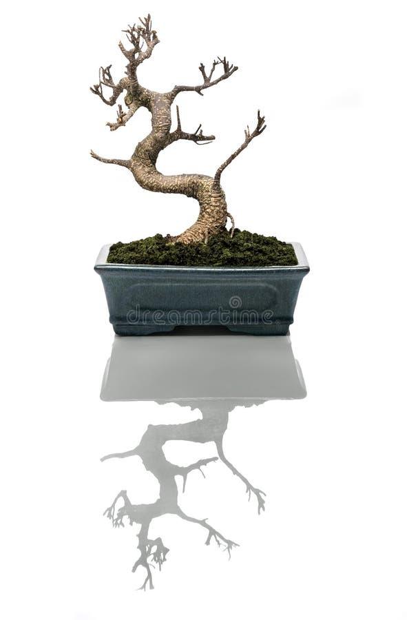 bonsai torkad tree arkivbild