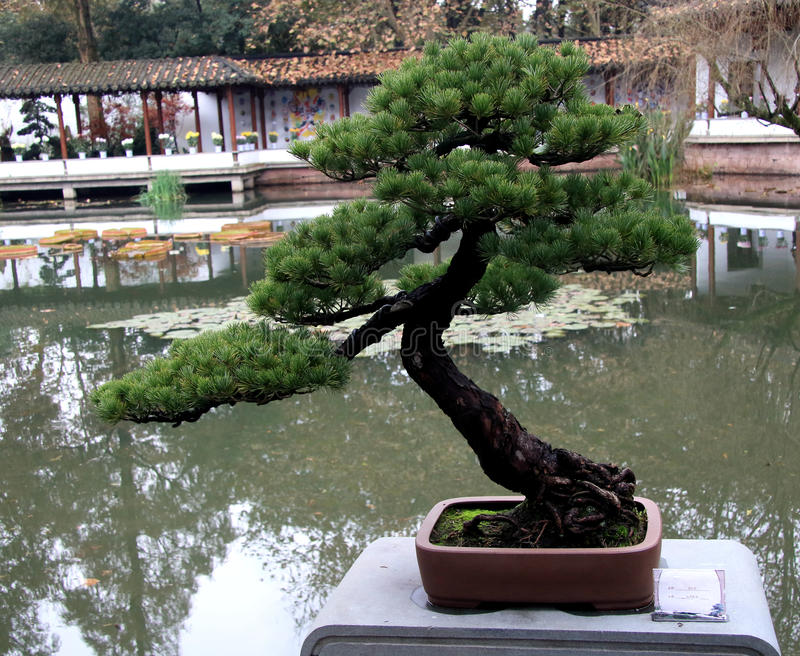 Bonsai (traditional art form) royalty free stock image