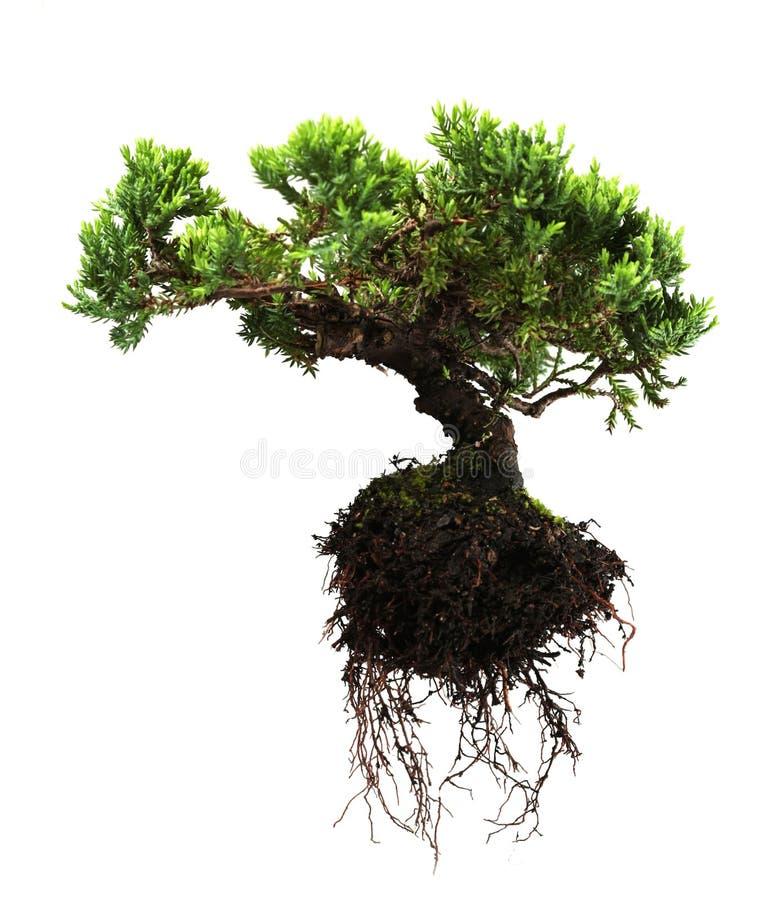 Bonsai tree. Isolated on white royalty free stock photo