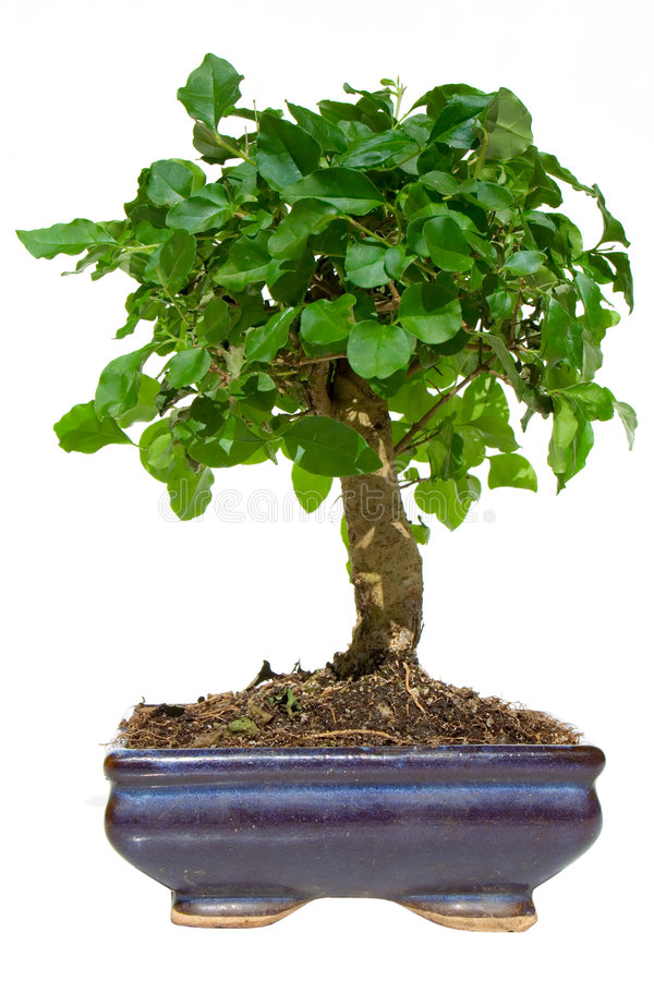 Free Bonsai Tree Royalty Free Stock Photos - 2257518