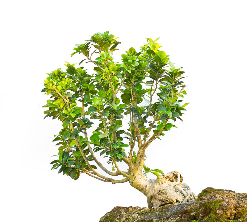 Download Bonsai Tree Royalty Free Stock Photo - Image: 23937275