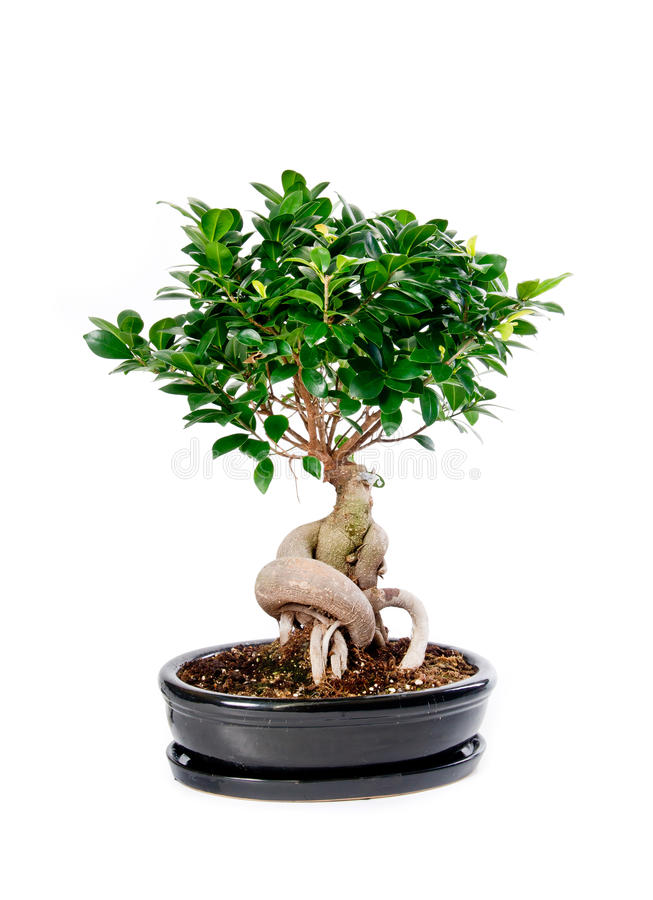 Download Bonsai tree stock image. Image of growth, leaf, growing - 25154687