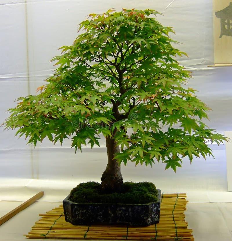 Free Bonsai Tree Stock Photography - 2543672