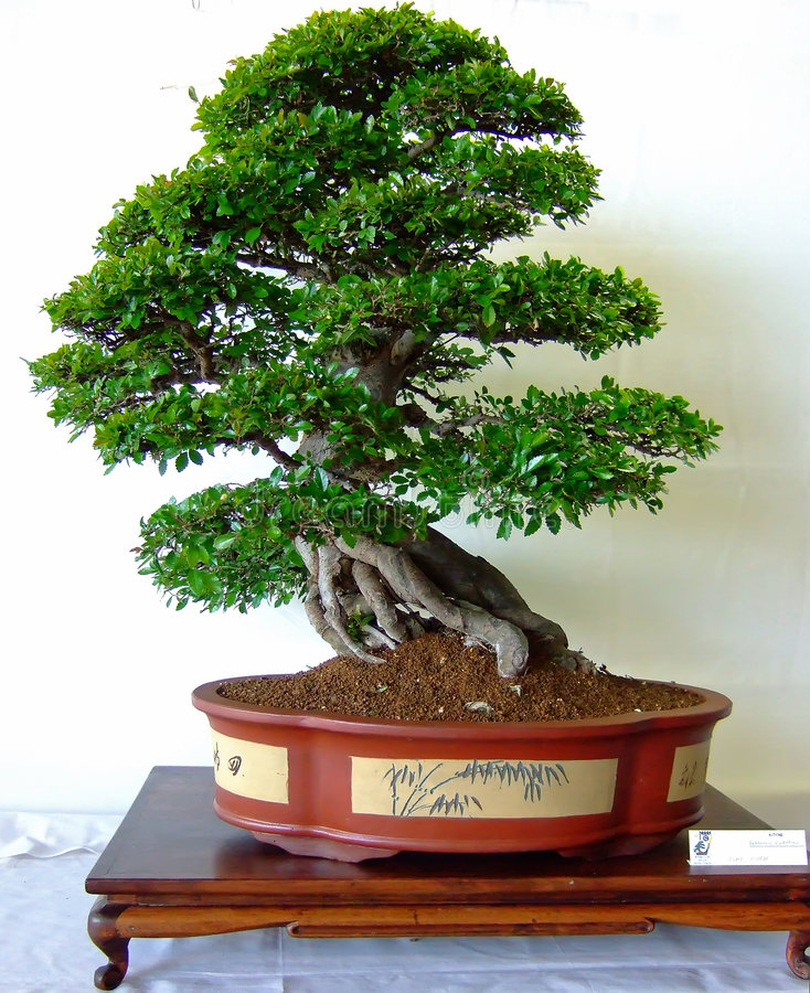 Download Bonsai tree stock photo. Image of tree, chinese, bonsai - 2543680