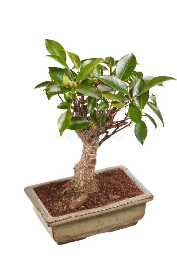 Download Bonsai tree stock image. Image of small, tree, hobby - 25658101