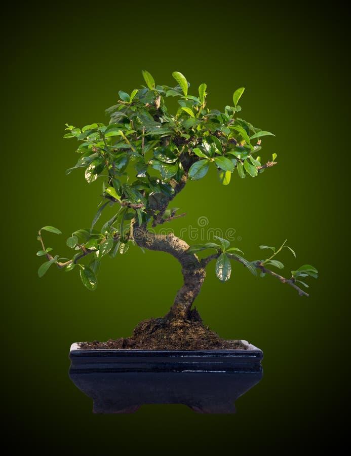 Bonsai tree royalty free stock images