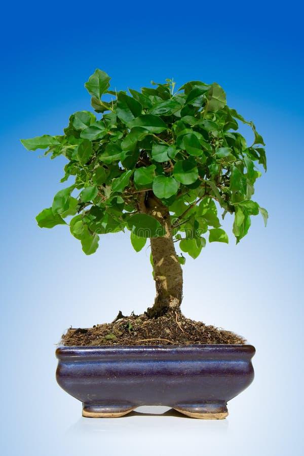 Download Bonsai Tree Stock Image - Image: 3171821