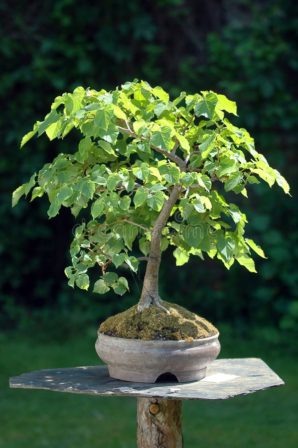 Download Bonsai Tree Stock Photo - Image: 6034830