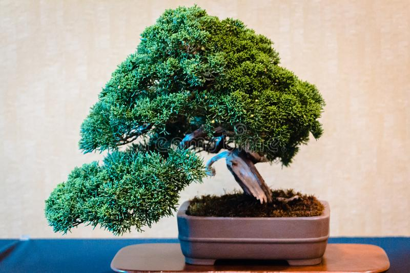 Bonsai tree at a bonsai show in Grand Rapids Michigan. At the Frederik Meijer Gardens royalty free stock image