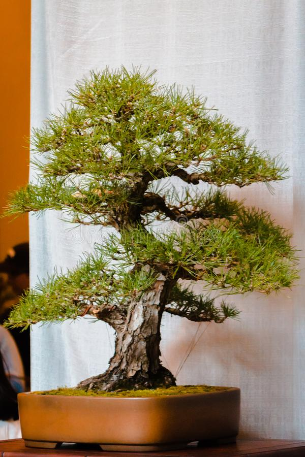 Bonsai tree at the Bonsai tree show at the Frederik Meijer Gardens in Grand Rapids Michigan. On a Spring day stock photos
