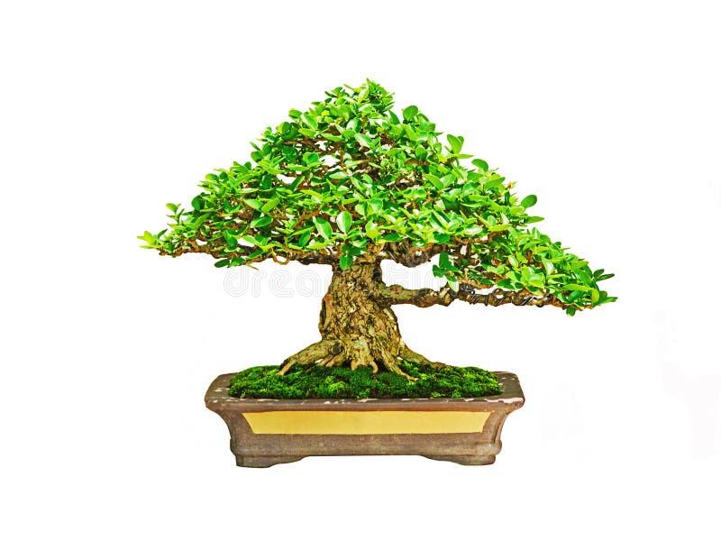 Download Bonsai tree stock image. Image of tree, grove, ceramic - 32963631