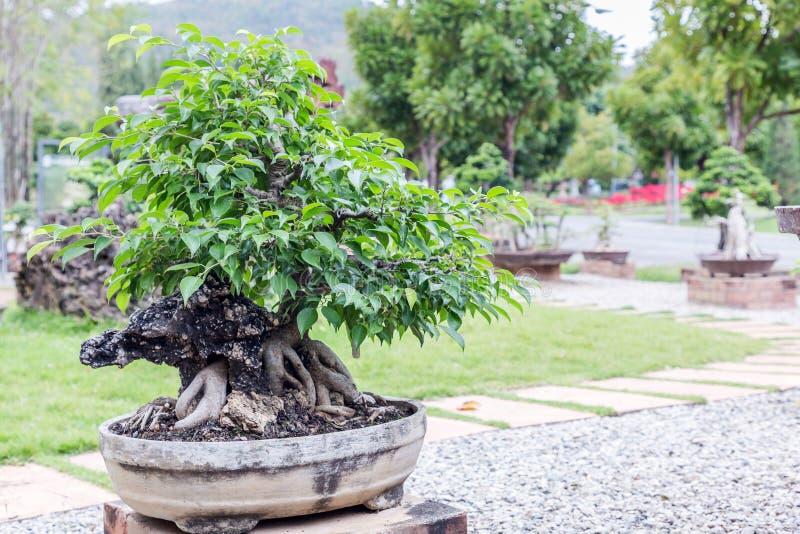 Bonsai Tree On Ceramic Pot In Bonsai Garden. Small Bonsai For ...