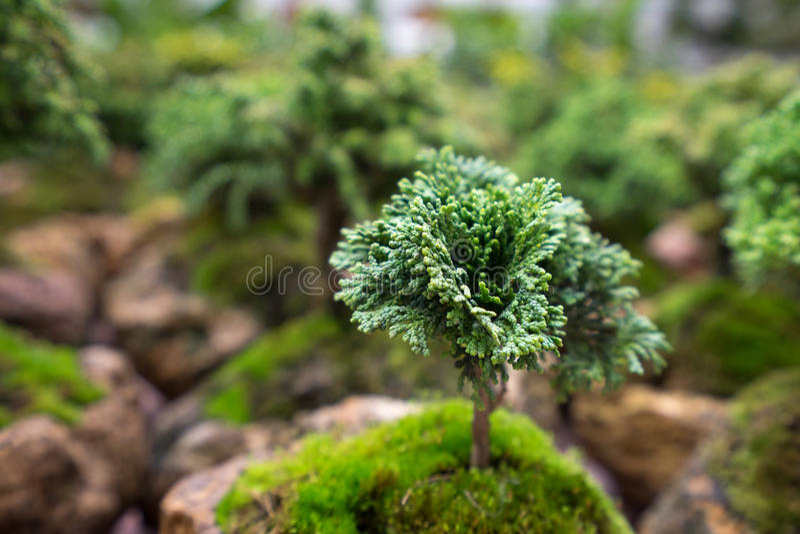 Bonsai tree closeup stock image