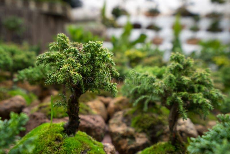 Bonsai tree closeup stock images