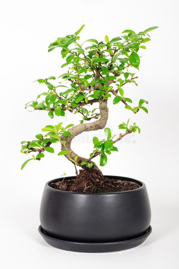 Bonsai Tree royalty free stock photography