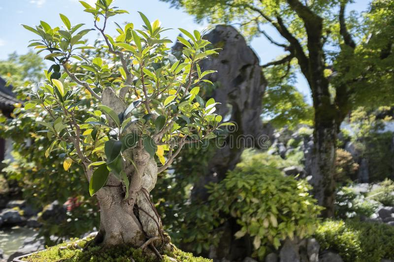 Bonsai tree in the Dr. Sun Yat-Sen classical Chinese garden. Bonsai tree over 100 years old at the Sun Yat Sen classical garden in Vancouver, BC, Canada stock photography
