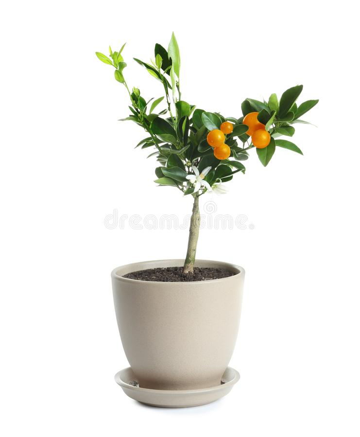 Bonsai tree with flowers and citrus fruits in pot on white. Plant for home royalty free stock images