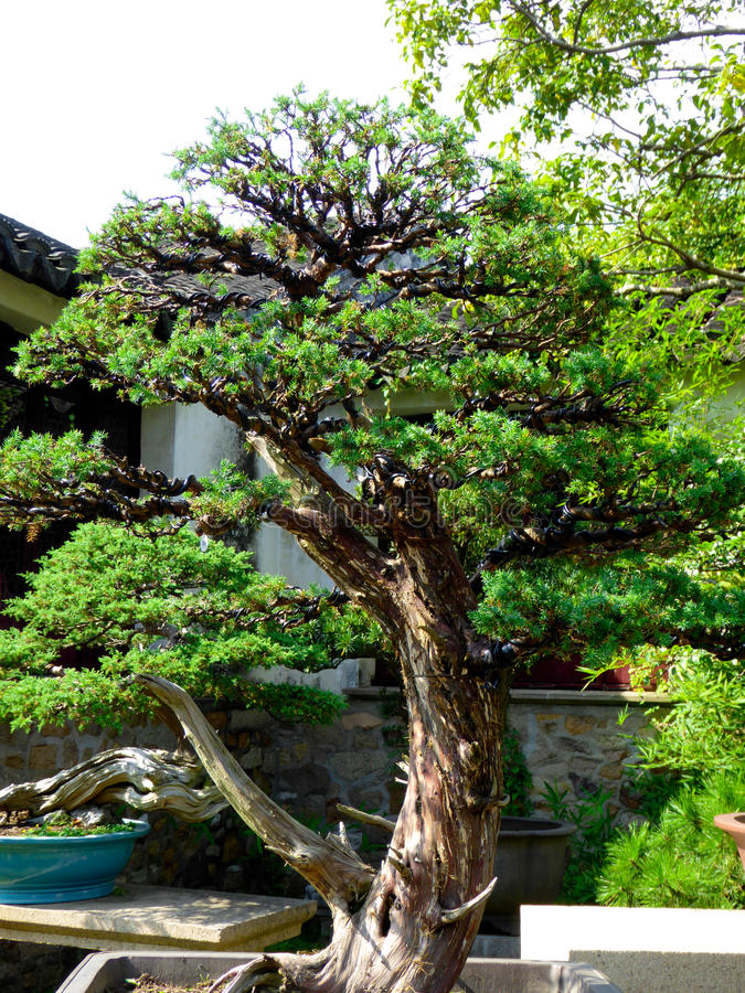 Bonsai Tree Growing stock images