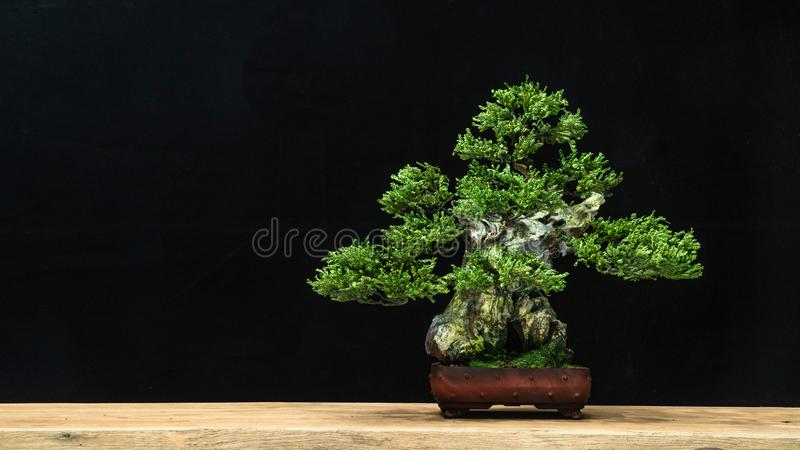 Bonsai style used for decoration. Bonsai is used to decorate the shop. Japanese bonsai tree on a black back wooden floor. The bonsai tree has a beautiful green stock image