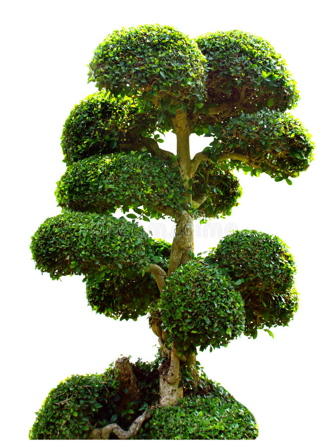 Free Bonsai Tree In Garden Isolated On White Stock Photography - 37794262