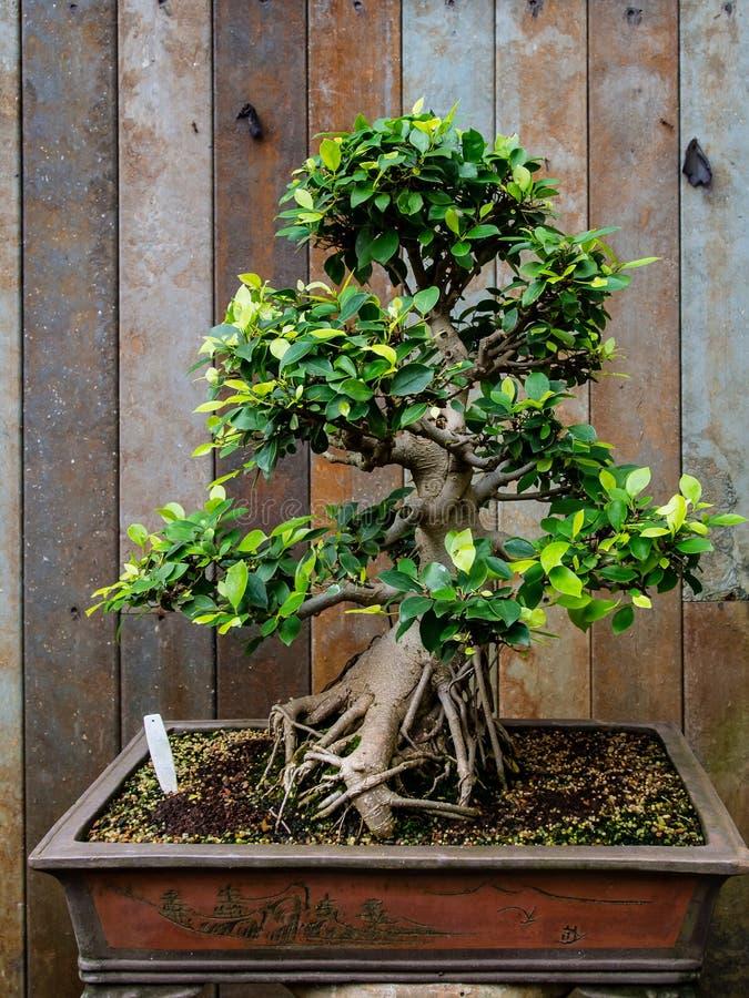 Bonsai Tree In Indoor Garden Stock Image - Image of