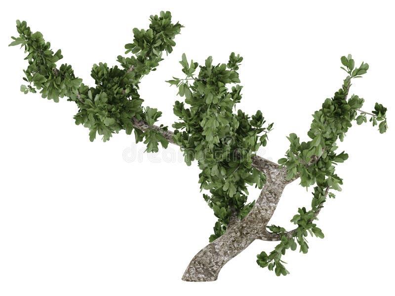 Bonsai Tree Isolated Royalty Free Stock Photos