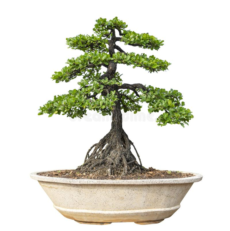 Bonsai tree isolated on white background. Its shrub is grown in a pot or ornamental tree in the garden stock photo