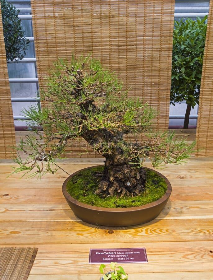 Bonsai tree - Japanese black pine royalty free stock photos