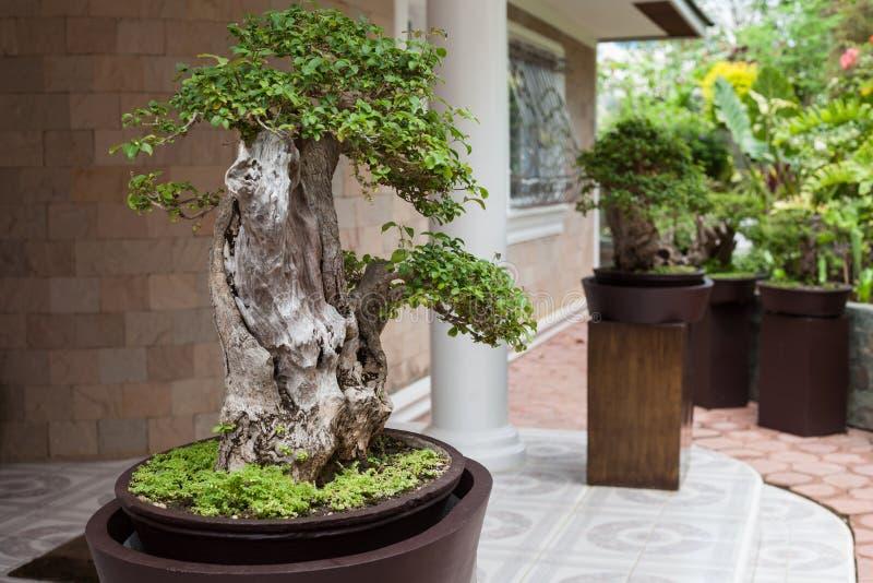 Bonsai tree in the Japanese Garden royalty free stock photos