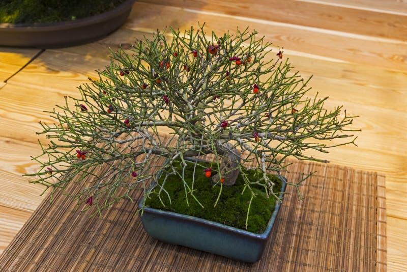 Bonsai tree - Japanese spindle royalty free stock photos