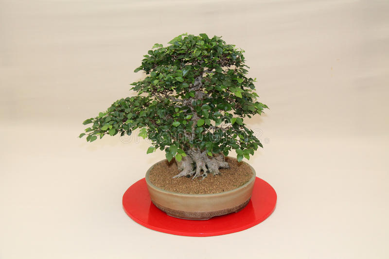 Bonsai Tree. royalty free stock photography