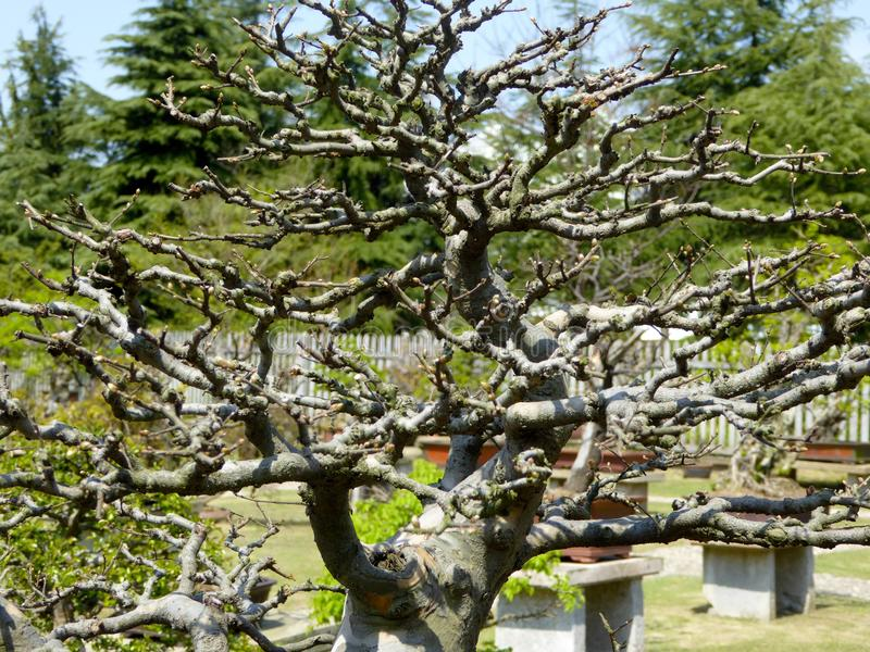 Bonsai tree with no leaves stock photography
