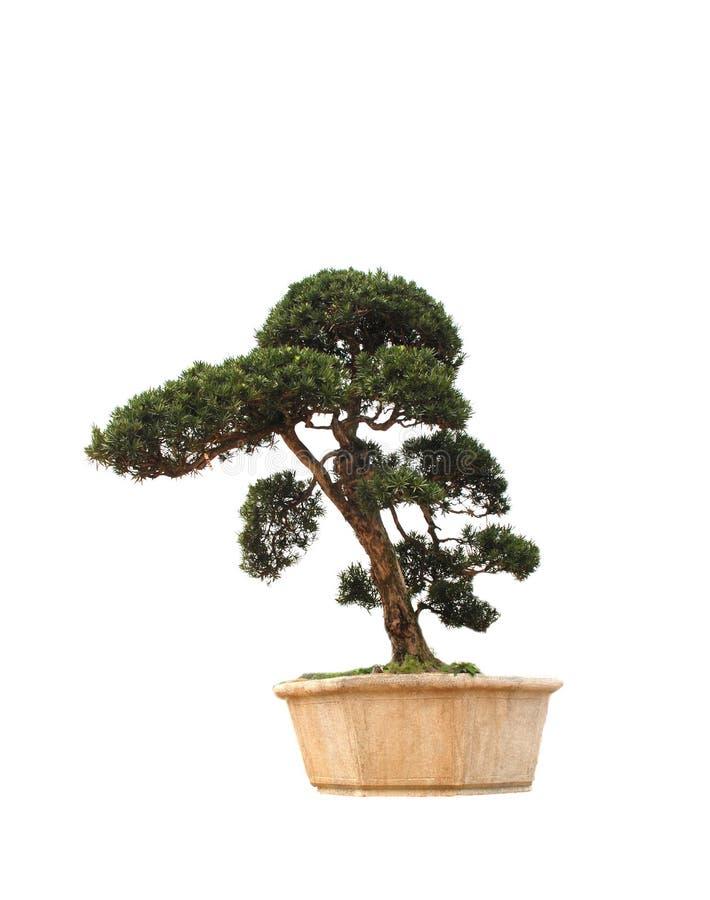 The bonsai tree of pine stock photos