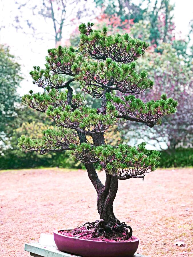 The bonsai tree in pink flowerpot standing in the botanical garden, feeling freshness in the morning. Autumn and winter season. The bonsai tree in pink royalty free stock image