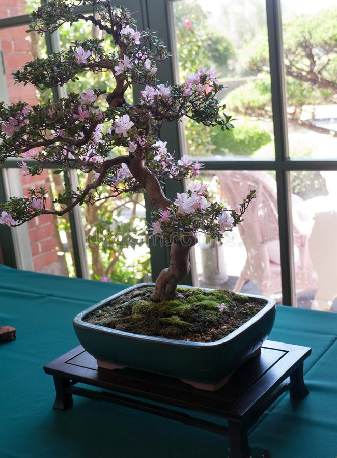 Bonsai tree with pink flowers on green tablecloth royalty free stock images