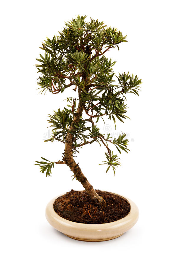 Bonsai tree in a pot stock photo