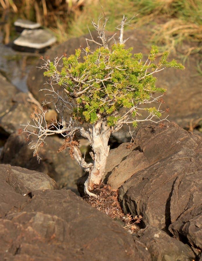Bonsai tree in rock stock photo