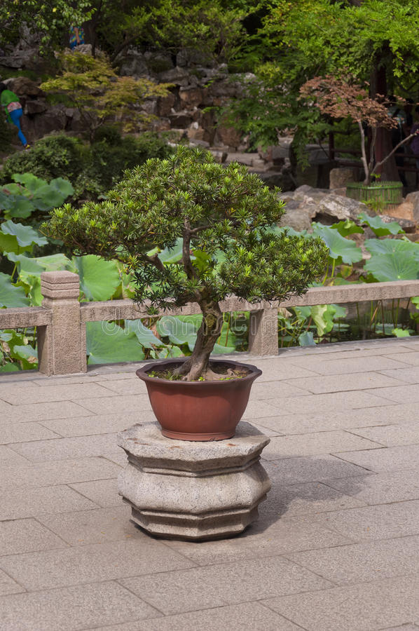 Bonsai Tree in a stone stand royalty free stock image
