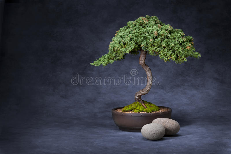 Bonsai Tree And Stones Background stock photography