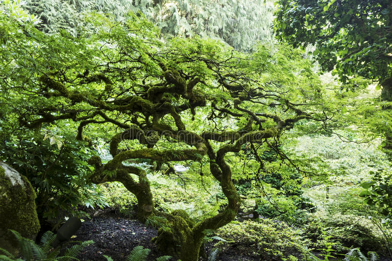 Bonsai tree with twisted branches stock photo image of for Formal japanese garden