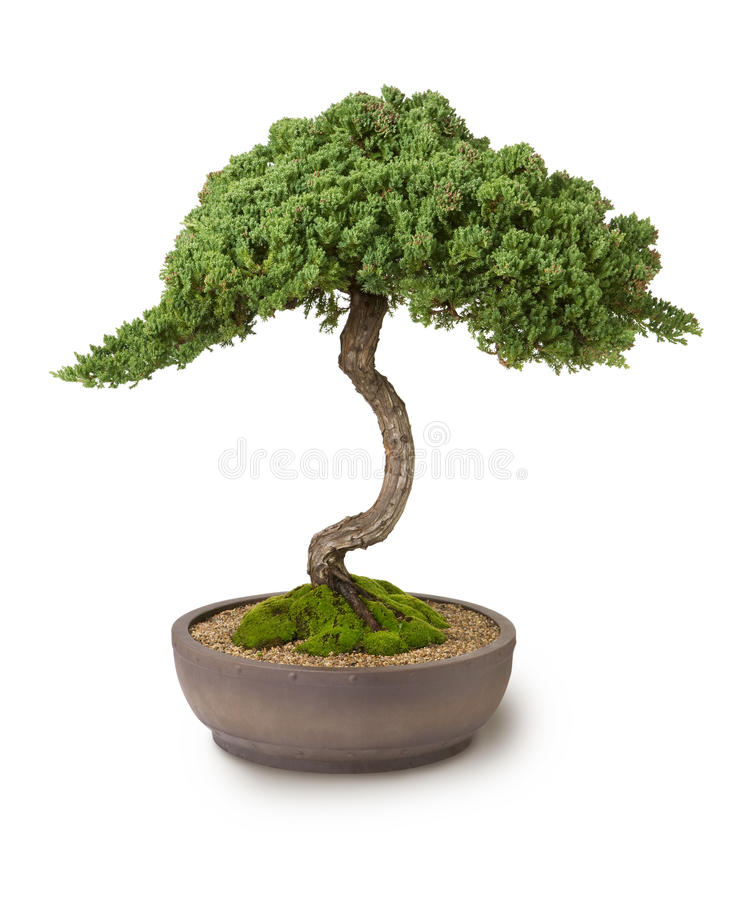 Bonsai Tree Wisdom stock image