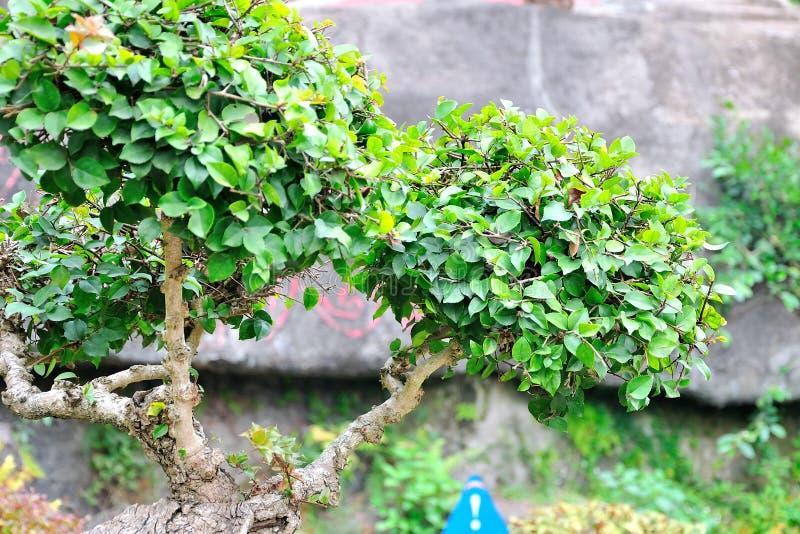 Bonsai tree stock image