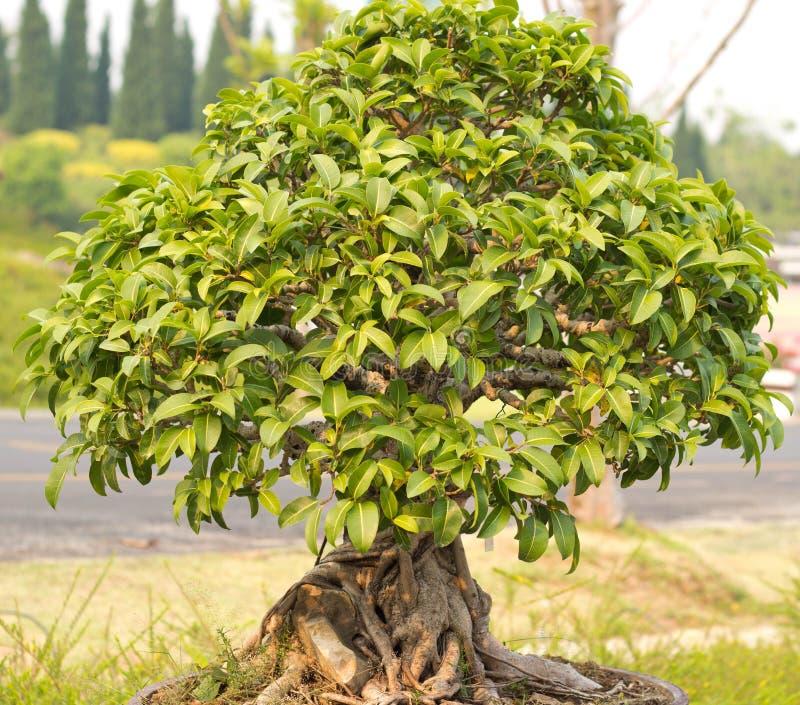 Download Bonsai trees stock photo. Image of bonsai, japanese, nature - 30050164