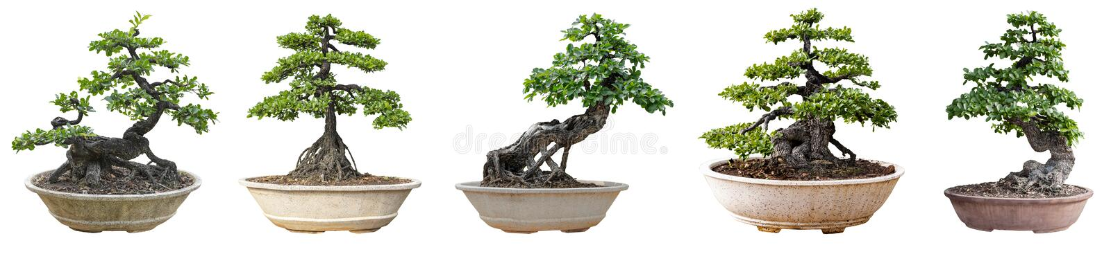 Bonsai trees isolated on white background. Its shrub is grown in a pot or ornamental tree in the garden stock photography